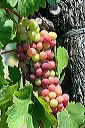 photo de grappe en veraison
